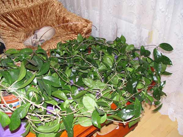 Хойя выращивание и уход размножение в домашних условиях